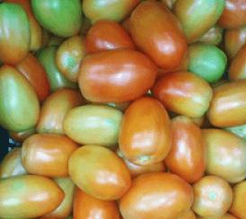 Amazon AgroSciences Fertilizantes Resultados Tomate Mais Saudável Nutrição Equilibrada