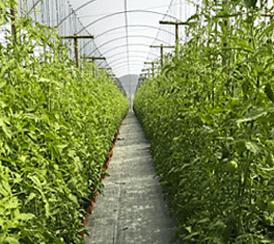 Amazon AgroSciences Fertilizantes Resultados Tomate Plantação de Tomates