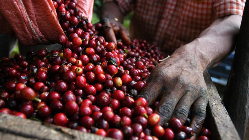 Amazon Fertilizantes As-5-melhores-práticas-para-o-cultivo-do-cafeeiro