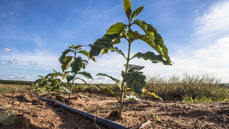 Irrigação e fertirrigação na produção de café