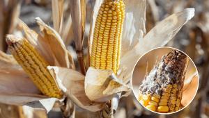 doenças do milho