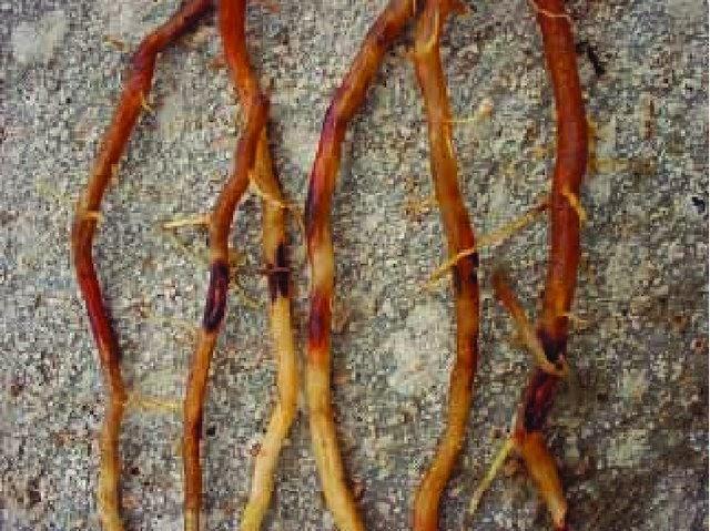 Nematoides